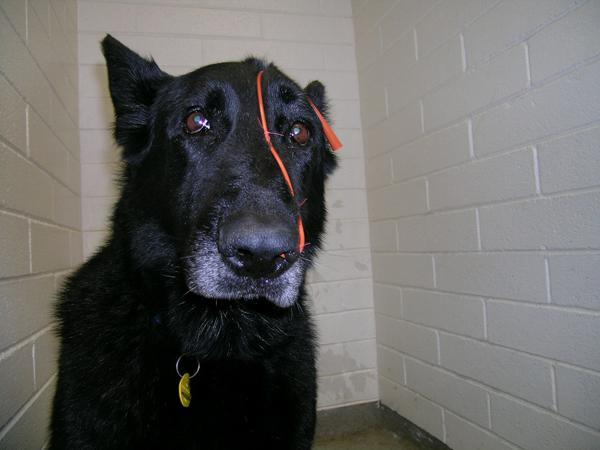 VĀCU AITU SUNS  Suņi ir gudri... Autors: sunshinee Bīstamākie suņi pasaulē.