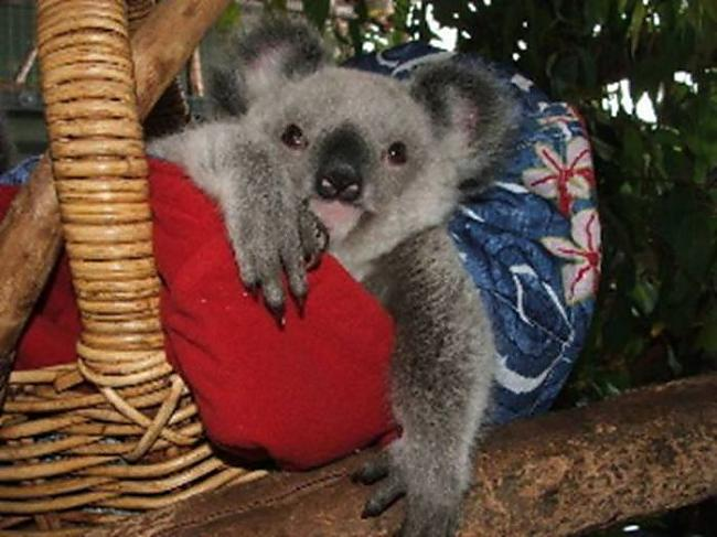 Autors: byDZERA Izglāb Koalas!!!!