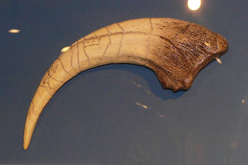 Megaraptora rokas pirksta nags... Autors: sekers Skeletori 2