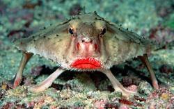 Zivs ar sarkanām lūpām Autors: wiwa20072 TOP3 pasaules neglītākās zivis!