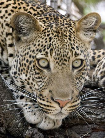 leopards Autors: Perpetuja Hibrīd-zvēri no leopardiem un jaguāriem