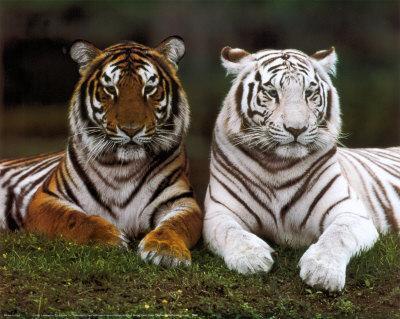 tigers Autors: Lincho Some animals=)