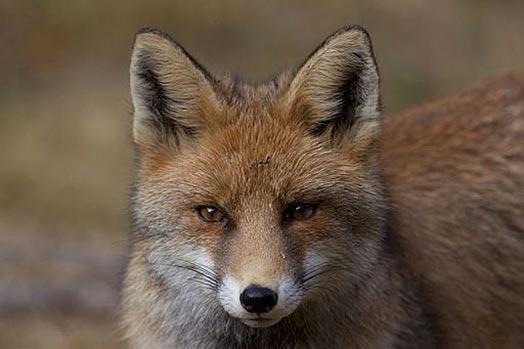 fox Autors: Lincho Some animals=)