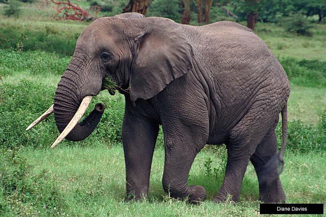 Zilonis var ievilkt snuķī 1520... Autors: kiksons 17 fakti par dzīvniekiem