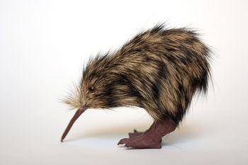Kivi ir endēmi putni kas dzīvo... Autors: kiksons 17 fakti par dzīvniekiem