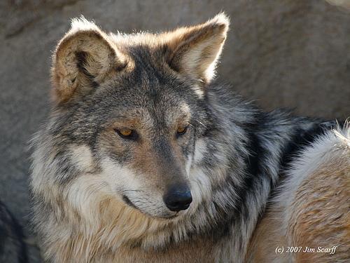 vilki ir skaisti dzīvnieki bet... Autors: angelus3D skaisti dzīvnieki 1 (vilki)