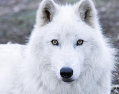 mednieki izšauj vilkus jo... Autors: angelus3D skaisti dzīvnieki 1 (vilki)