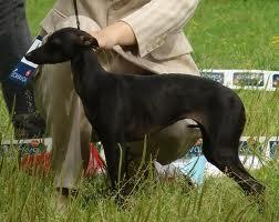 Spāņu Greihaunda dzimtene ir... Autors: Mazā Smailija Gludspalvainie suņi