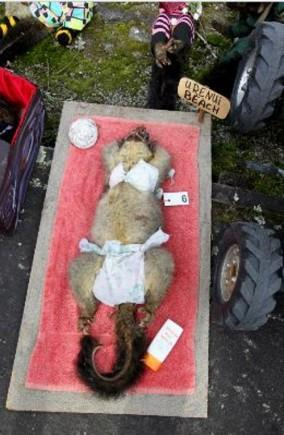 Jaunzēlandes pilsētiņā Eruti... Autors: BezzeeCepums Fotokonkurss par skaistāko mirušo oposumu