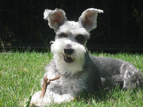 Vai man vienīgajam scaronis... Autors: MoonWolf Jautrās suņu ausis! :D