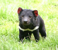 Autors: Fosilija Tasmanijas velns
