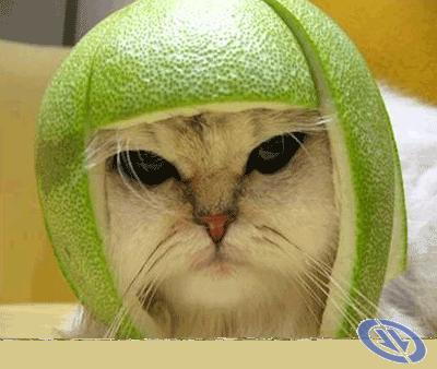 Esmu gatavs karam  Autors: gopniks2 Smieklīgie kaķi !