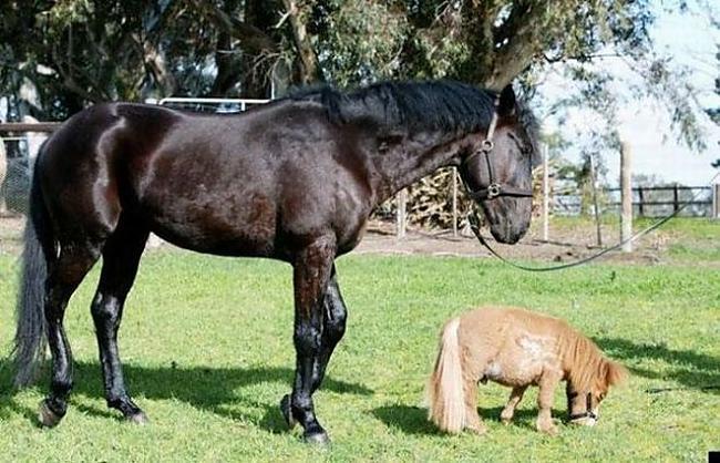 Autors: ORGAZMO mazākais zirgs pasaulē.