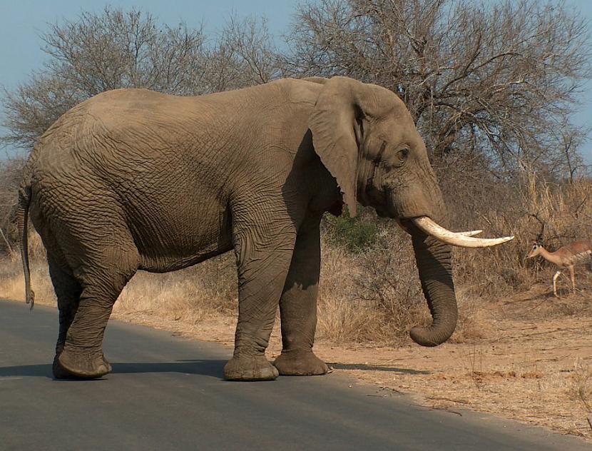 nbsp5 ndash Zilonis ap 600... Autors: Nopsis2 Top 10 – Nāvējošākie dzīvnieki