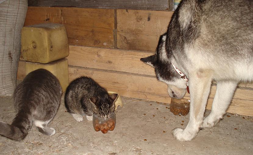 Scaronjā bildītē mēs varam... Autors: zobusāpes Apgāžam pieņēmumus... jeb ''Kā suns ar kaķi