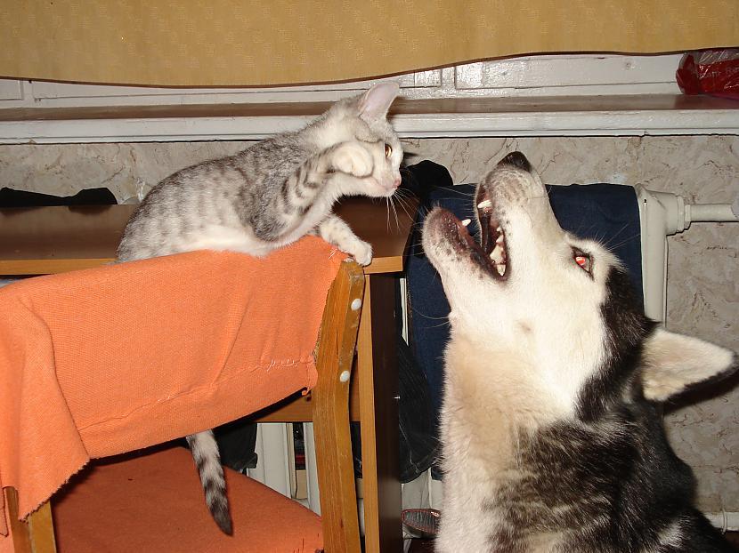 Daudzas stundas tika... Autors: zobusāpes Apgāžam pieņēmumus... jeb ''Kā suns ar kaķi