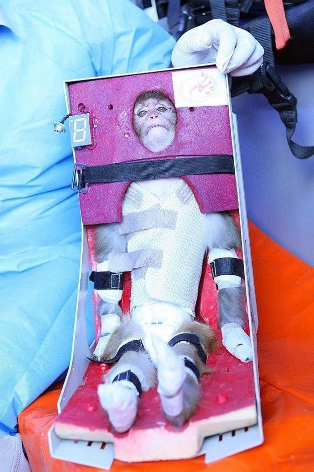 Pērtiķis tika stingri... Autors: Politikānis Palaiž kosmosā pērtiķi?!