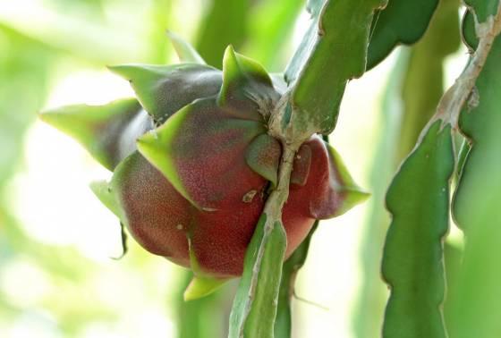 Pitajanbsp cirtains apaļscaron... Autors: Deadshot 10 interesantāki augļi uz zemes
