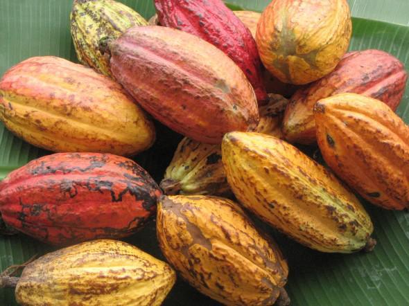 Kakao koki aug tikai tropiskā... Autors: ResnaisPiiraadzins Eksotiskie augi