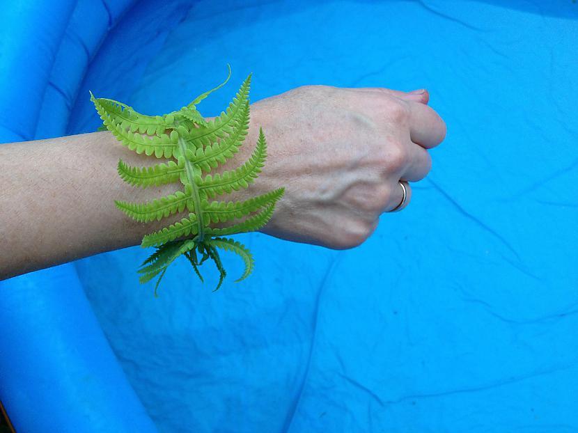 Zaļā aproce no papardes Autors: Sveiksunvesels Zaļa aproce - BRĪVĪBAS simbols tiem, kuri nesmēķē!