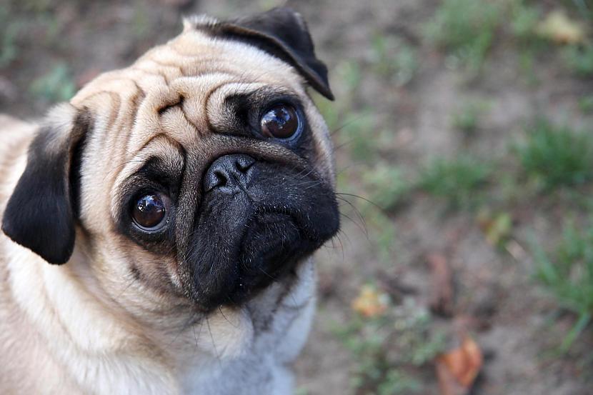 Suņiem ar plakanu seju ir... Autors: Fosilija Lietas ,kuras tev ir jāzin par kaķi un suni.