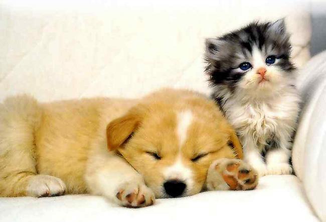 īsie faktiSmagākais suns svēra... Autors: Fosilija Lietas ,kuras tev ir jāzin par kaķi un suni.