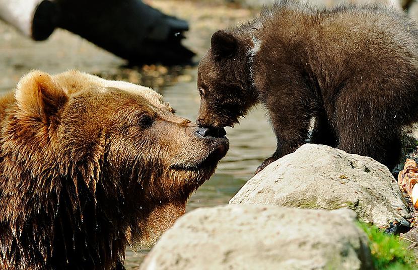Kamčatkas brūnais lācis ar... Autors: BodyBoard Attēli / Teksti - Dabas Pasaule