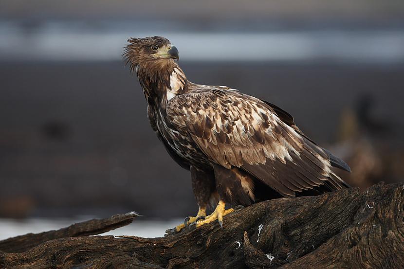 nbsp nbspJūras ērgļa ķermenis... Autors: Mao Meow Jūras Ērglis –Latvijā lielākais savvaļas plēsīgais putns.