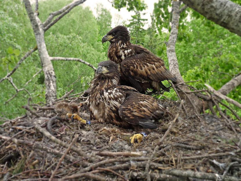 nbsp nbspJūras ērgļu tēviņi ir... Autors: Mao Meow Jūras Ērglis –Latvijā lielākais savvaļas plēsīgais putns.