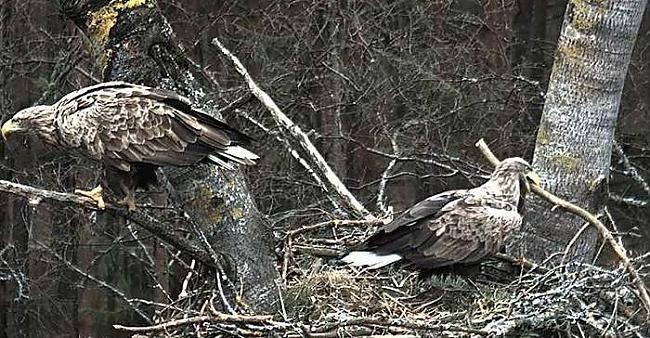 nbsp Ligzdu būvē lielu koku... Autors: Mao Meow Jūras Ērglis –Latvijā lielākais savvaļas plēsīgais putns.