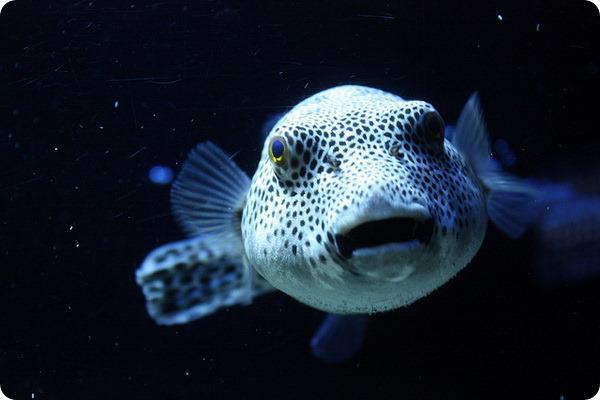 Fugu zivs  Takifugu rubripes  ... Autors: roma005 Pasaulē indīgākie dzīvnieki.