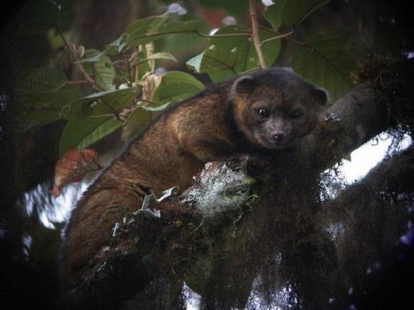 Koka olingo Scaronis pūkains... Autors: mousetrap Dzīvnieki, kurus atklāja 2014.gadā