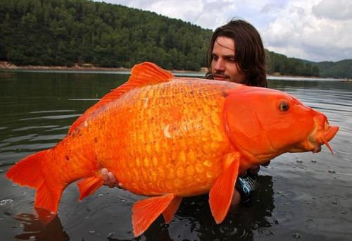 Lielākā noķertā zelta zivtiņa... Autors: kaķūns Nē, tas NAV fotošops!