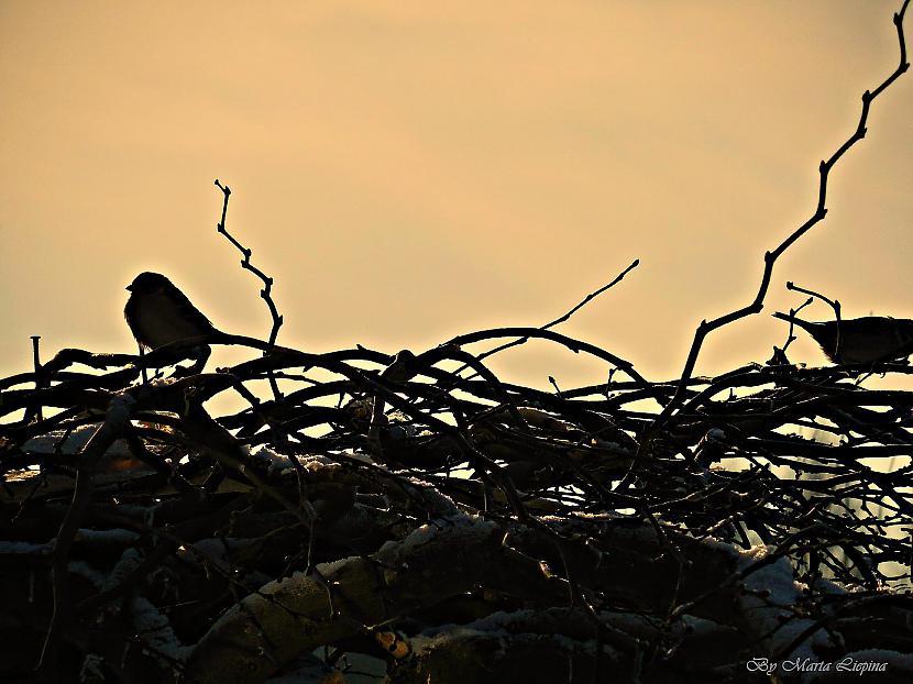 salizturīgie Autors: saule70 skaidrā ziemas dienā :)