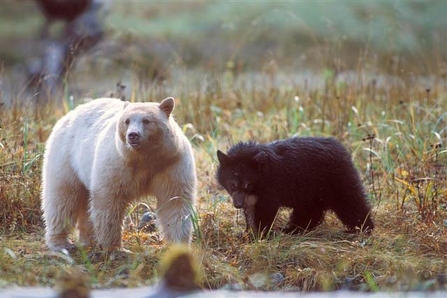 Melnie lāči ne vienmēr ir... Autors: Kapteinis Cerība Interesanti Fakti Par LĀČIEM.