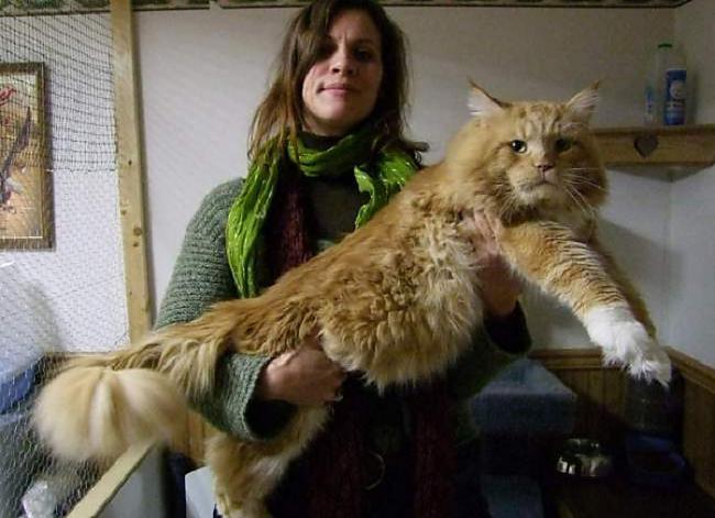 Lielais kaķis  scarono... Autors: Lords Lanselots Neko sev mincīši!!