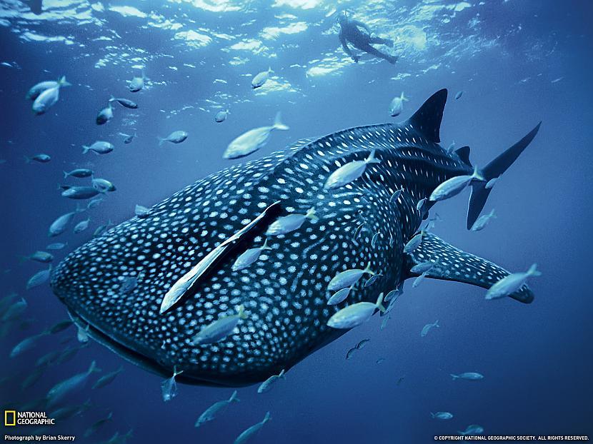 Vaļhaizivs var nodzīvot līdz... Autors: PartyFreak2013 20 Aizraujoši fakti Jums!