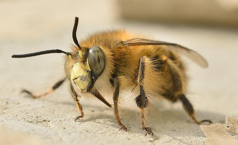 Neskatoties uz iespējamajiem... Autors: Leģenda Bišu klusā izzušana