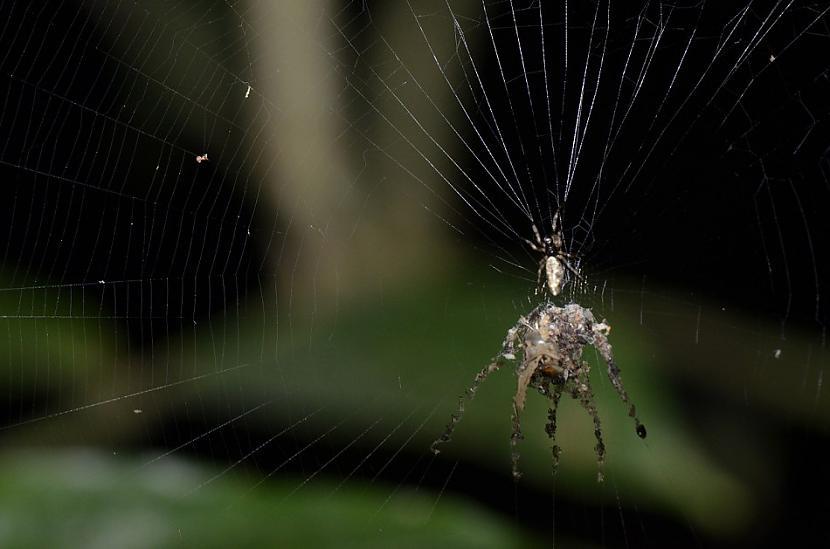 3 DecoyBuilding SpiderUzmetot... Autors: Zirnrēklis Neparastākie zirnekļi #3