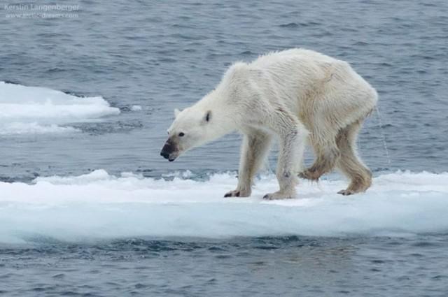 Foto Izbadējusies polārā lāču... Autors: im mad cuz u bad Šokējoša fotogrāfija atklāj realitāti par klimata izmaiņām