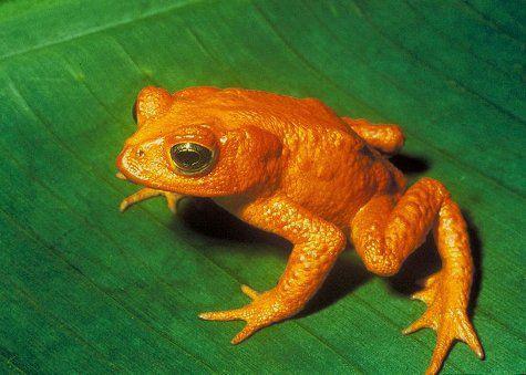 Zelta krupis Golden toadPirmās... Autors: droop Izmirušie dzīvnieki