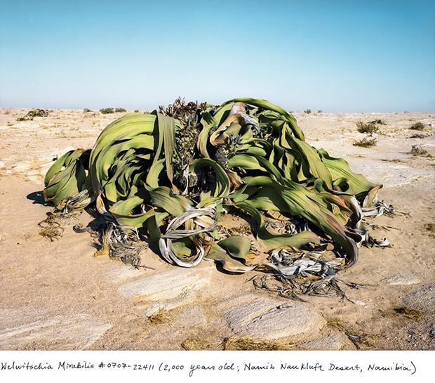Brīnumainā velvīčija 2000... Autors: Fosilija Neparasti augi pasaulē