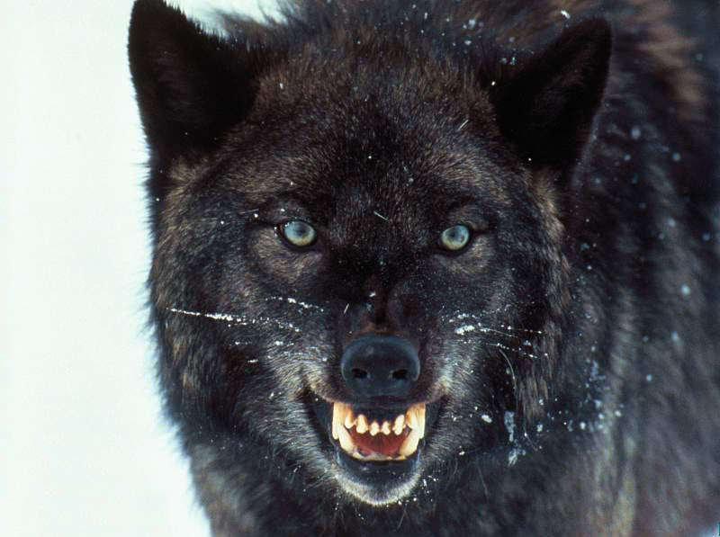 Kad cilvēki iedomājas par... Autors: Kapteinis Cerība Nelieli šokējoši fakti par vilkiem