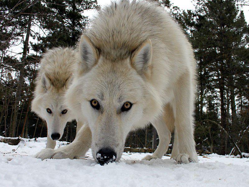 Galu galā vilki ir ļoti... Autors: Kapteinis Cerība Nelieli šokējoši fakti par vilkiem