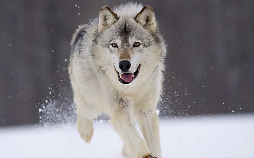 Vilki ar trakumsērgu ir vieni... Autors: Kapteinis Cerība Nelieli šokējoši fakti par vilkiem