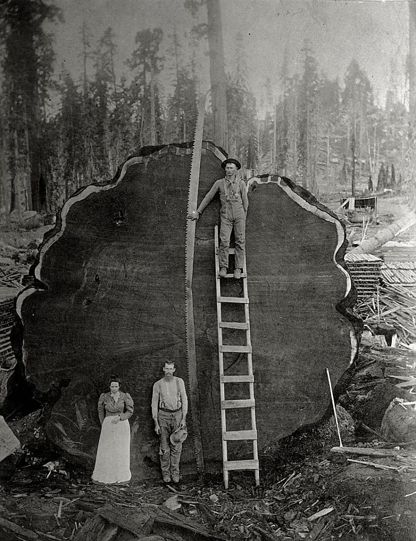 Milzonīgs nozāģēta koka... Autors: me guusta 16 agrāk nepublicēti foto no National Geographic arhīviem,kas aizraus elpu!