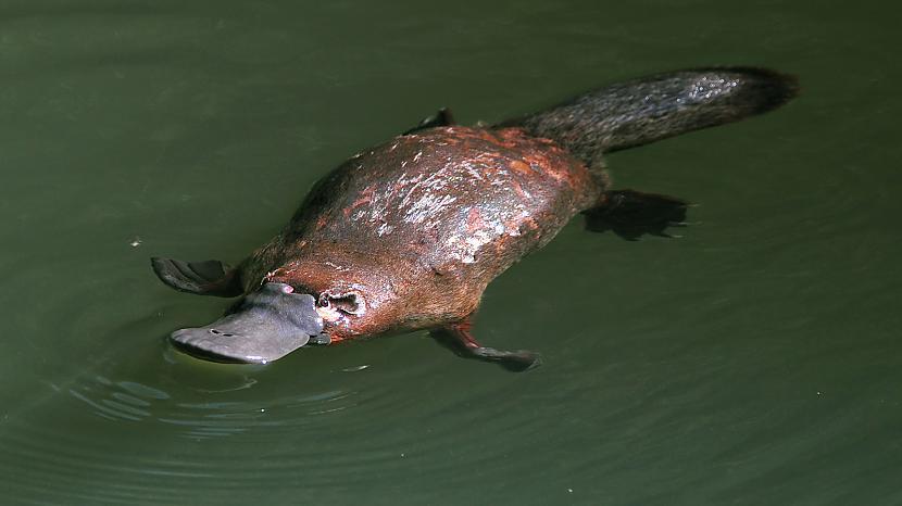 Vīriescaronu dzimtas pīļknābji... Autors: Black Lagoon 10 Fakti Par Dzīvniekiem
