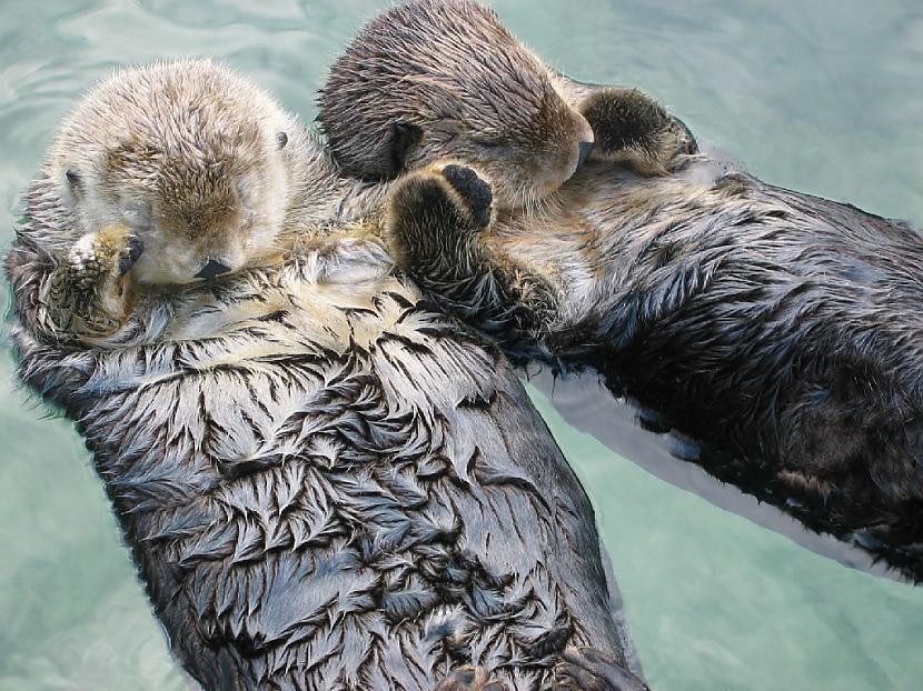 Ūdri guļot tur viens otra... Autors: Black Lagoon 10 Fakti Par Dzīvniekiem