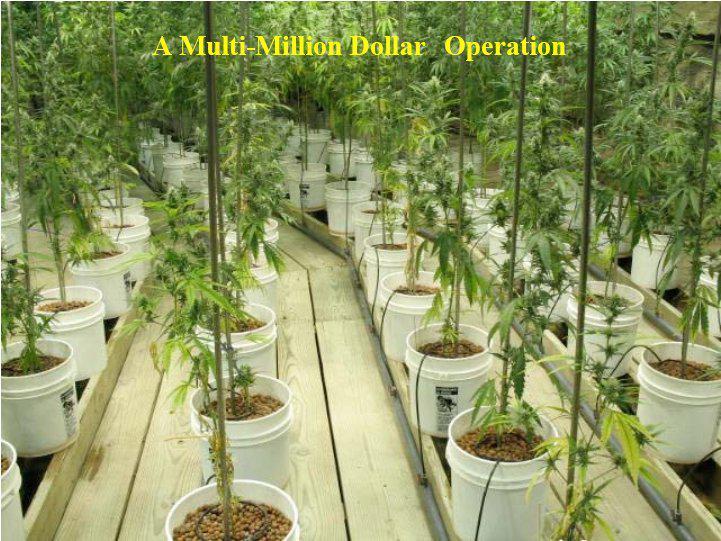 Vairāk nekā 1000 marihuānas... Autors: Fosilija Marihuānas audzētava lauku mājā ŠOKS! Policija atklāj ko neiedomājamu!