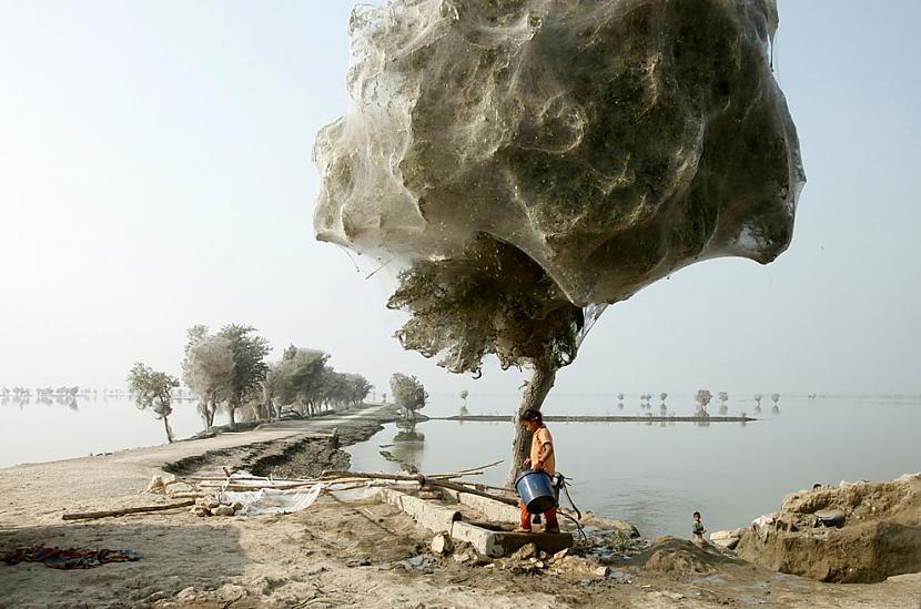 quotZirnekļu kokiquot... Autors: Testu vecis Mazāk redzēti foto, kas šokēja pasauli (2)